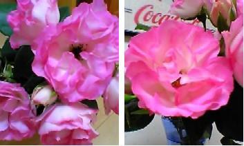 ピンクのバラの写真