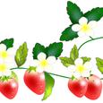 白い花のいちご