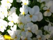 パンジー ホワイト