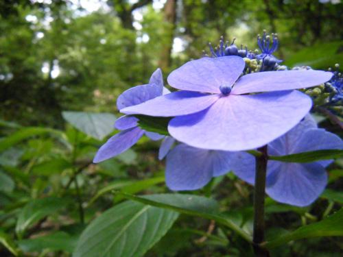 紫陽花 2008年7月